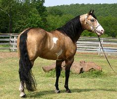 American Paint Horse Stallion LA Oklahoma Rebel. Love buckskins