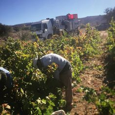 Picking in Truqui #gwcoharvest2017 #gwcotruquilemu