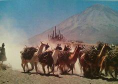 "A packtrain of llamas carrying brush marches past an inactive volcano. If overloaded or annoyed, llamas will bite, spit, and refuse to move.   (From ""National Geographic Picture Atlas of Our World"")"