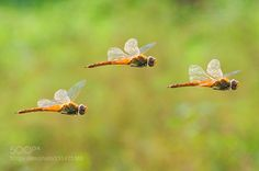 Dragonfly Troops by Andrinaline Macro Photography #InfluentialLime