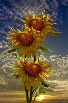 Trio of Sunflowers •• Photography by Debra and Dave Vanderlaan