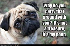 All poops are treasures when they're from a pug...