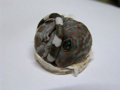 Tokay gecko hatchling. Photo by Robert Farrugia. It looks cute, but these dudes are the pit bulls of the gecko world.