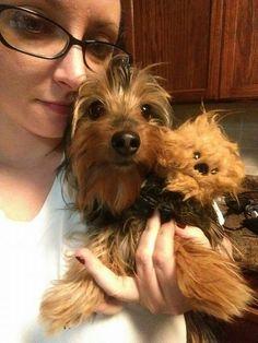 Baby chewbacca! Dorkie! Doxie/yorkie dachshund
