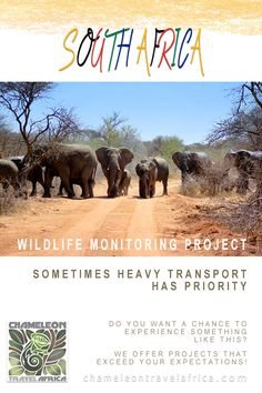 Join this fantastic project in their effort to monitor the large and endangered wildlife present on a National Park Section within the Waterberg Biosphere and preserve their habitat. You'll monitor species such as elephant, rhino, leopard, lion, cheetah, hyena and other rare species, which assists the National Park Management in better strategic planning in protecting Wildlife. Volunteering at this project is an amazing experience! #monitoring #endangered #wildlife #volunteer #intern