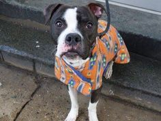 Manhattan Center PITMAN - A1027389 MALE, BR BRINDLE / WHITE, PIT BULL MIX, 4 yrs STRAY - STRAY WAIT, NO HOLD Reason STRAY Intake condition EXAM REQ Intake Date 02/07/2015, https://www.facebook.com/photo.php?fbid=959925104020369