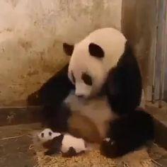 Pandas Baby, Baby Panda Bears, Cute Panda Baby, Cute Little Animals, Cute Funny Animals, Cute Cats, Cute Animal Videos, Funny Animal Pictures, Photo Panda