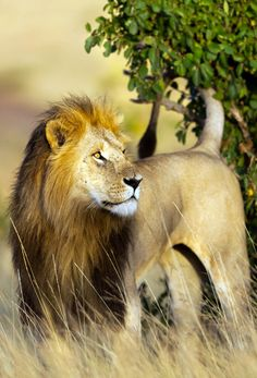 Big Lion in Kruger National Park, South Africa | Discover why Millions of Tourists visit South Africa