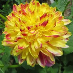Dahlia, Walled Garden, parc de Culzean Castle, Maybole, South Ayrshire, Ecosse, Grande-Bretagne, Royaume-Uni.