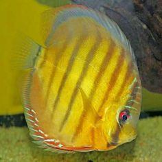 Discus Discus Fish, Beautiful Fish, Aquarium Fish, Coral, Pets, Animals, South America, Animales, Animaux