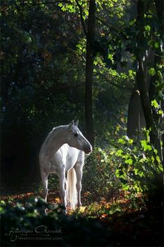 Amazing white horse in the forest. Best of the best - Equine Photography Katarzyna Okrzesik Most Beautiful Animals, Beautiful Horses, Beautiful Creatures, Beautiful Things, Horse Photos, Horse Pictures, Animals Tattoo, Animals And Pets, Cute Animals