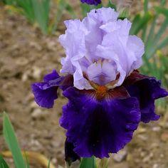 TB Iris 'Magnetisme' (Cayeux, 2011)