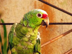 Neighbouring parrot, Guanacaste Province, Costa Rica.