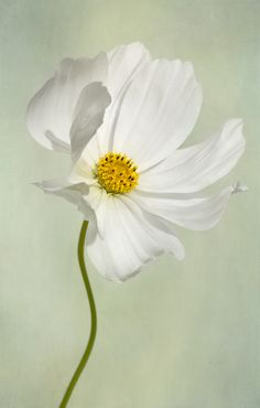 White Cosmos Flower - Nice Photo !