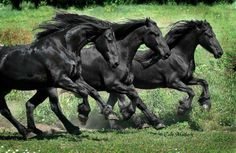 3 beautiful  black horses