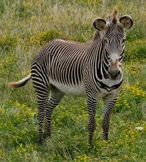 Fact Attack: Endangered Species No. 108 – Grévy's Zebra Endangered Species, Zebras, Conservation, Mammals, Wildlife, Africa, Facts, Nature, Image