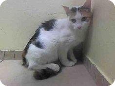 Brooklyn, NY - Domestic Shorthair. Meet APPLE, a cat for adoption. http://www.adoptapet.com/pet/10993142-brooklyn-new-york-cat