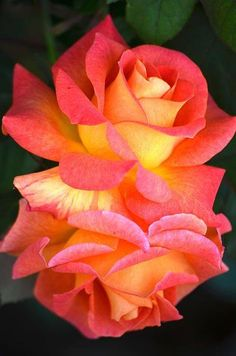 Rose Gardening Rosas de color coral y amarillo Amazing Flowers, Beautiful Roses, My Flower, Beautiful Flowers, Cactus Flower, Exotic Flowers, Purple Flowers, Yellow Roses, Pink Roses