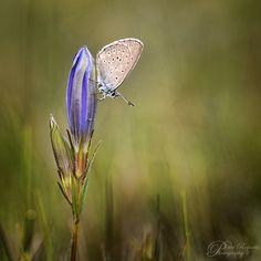 Vroege Vogels: Gentiaantjes Gentiaanblauwtje op zijn waardplant het gentiaanklokje Het is een zeldzaam vlindertje.