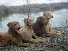 Chesapeake Bay Retriever Family