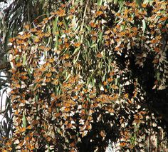 """Monarch butterflies on a eucalyptus tree. I've got eucalyptus trees in my backyard... With any luck, maybe I'll see this one day! Adding to my """"Bucket List"""" right now!"""