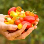 How To Grow Tomatoes Indoors In Winter