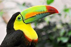 toucan - Google Search