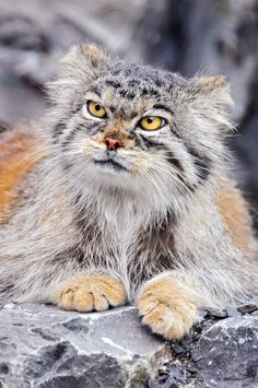 """Манул The manul, an ancient breed of small cats, 12 million years old. They can't be domesticated and are classified as """"near threatened"""". They live on the Asian Steppes. Check out the link for lots of photos! (Also called Pallas cat) Small Wild Cats, Small Cat, Big Cats, Crazy Cats, Cool Cats, Cats And Kittens, Beautiful Cats, Animals Beautiful, Cute Animals"""