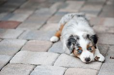 Aussie Puppy!    I had one just like this beautiful Blue Merle when I was in high school... best breed ever!!