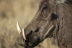 Botswana - Warzenschwein