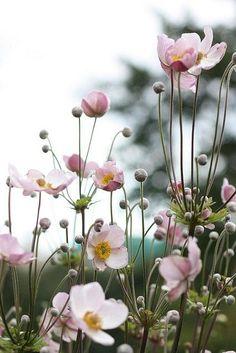 Anemone tomentosa 'Robustissima' (Herfstanemoon)   De Tuinen van Appeltern Beautiful Flowers, Autumn Flowering Plants, Pretty Flowers, Anemone, Country Garden Decor, Perennials, Plants, Anemone Flower, Planting Flowers