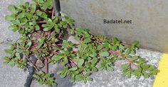 Přestaňte ji volat plevel: Jedná se o jednu z nejléčivějších bylin