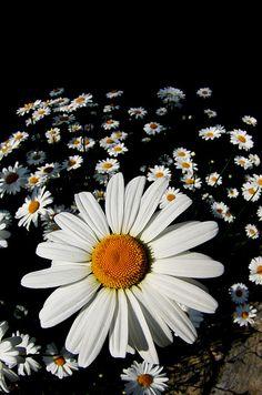 Love daisy's!
