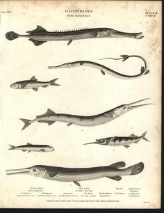Chinese Tobacco Pipe Fish Sea Pike Long Jawed 1811