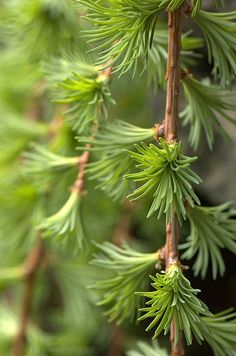 LARIX  Weeping Larch Even though it appears to be an evergreen, the larch is actually deciduous, dropping its foliage in the winter.  Interesting branch and foliage pattern, especially as new growth expands in the spring. Watch for gypsy moth eggs.