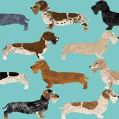 wire haired dachshunds dogs pet dog cute wild boar dachshunds blue dachshunds colors by petfriendly