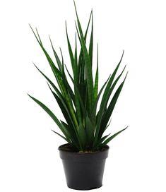 Ficus, Sansevieria Plant, Drought Resistant Plants, Wild Iris, Obi, Green Leaves, White Flowers, Grass, Orange