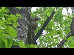 Как Прячется Лесная Белка (Animal Planet. Pet World. Squirrel)