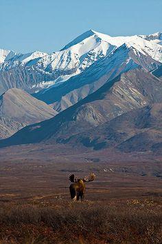 Moose wanders through tundra - Denali National Park, Alaska