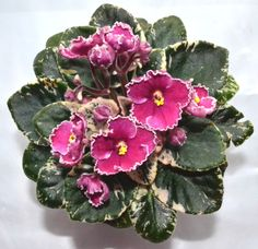 Ness Pixie Grin African Violet Plant