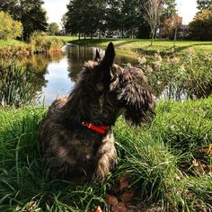 Oh summer days, where have you gone? #scottishterriers #scottydogs #scotties