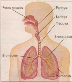10 Ideas De El Aparato Respiratorio Aparato Respiratorio Respiratorio Sistema Respiratorio