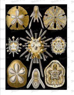 Haeckel Sand Dollar Sea Life