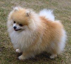Pomeranian.cz  jane pom toy andonara s dream import austria parents usa and thaiwan ...