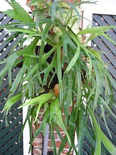My favorite palm tree the canary island date palm for Non toxic ferns
