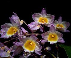 Dendrobium farmeri with nice color pattern by Ricardo in PR, via Flickr