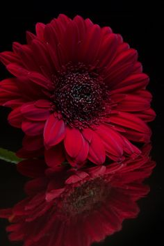 """thelordismylightandmysalvation: """"""""Deep Red"""" ~ Photography by """" Flowers Nature, Exotic Flowers, Beautiful Flowers, Red Photography, Flower Phone Wallpaper, Shades Of Black, Black Magic, Black Is Beautiful, Black Backgrounds"""
