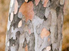 Korean Stewartia Tree bark is spectacular Trees And Shrubs, Flowering Trees, Trees To Plant, Tree Bark, Winter Garden, Winter Plants, Winter Trees, Garden Trees, Gardens