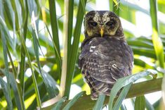 African Wood Owl by Andrew Willemse on 500px