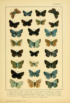 Kirby & Kappel 1895 British and European Butterflies and Moths Room Posters, Poster Wall, Poster Prints, Vintage Butterfly, Butterfly Art, Butterflies, Vintage Flowers, Botanical Drawings, Botanical Prints